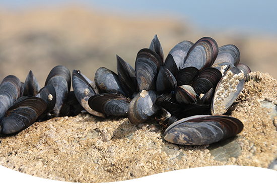 blue mussels on a rock